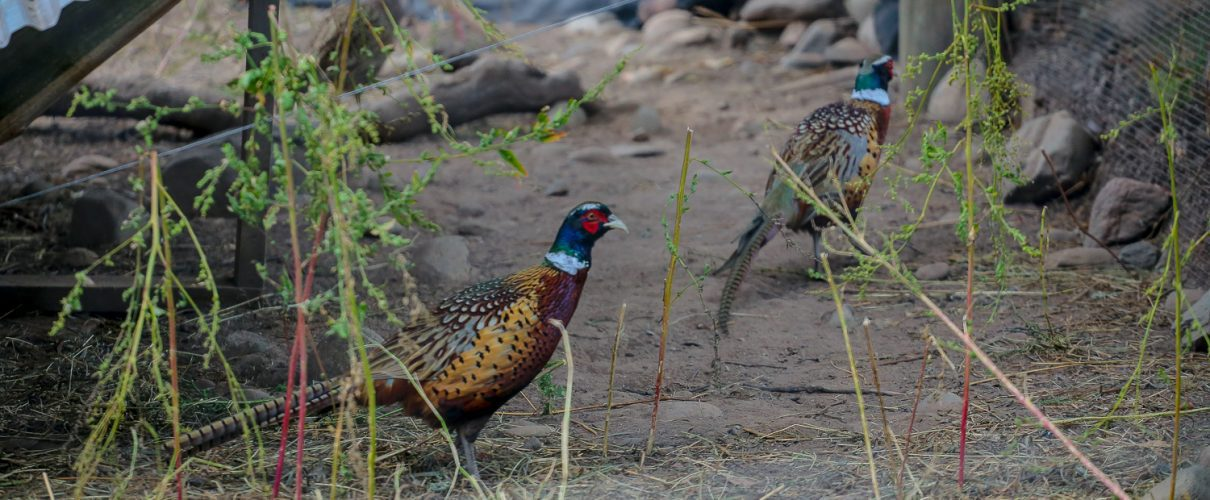 The Wilderness Reserve Pheasant