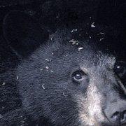 Black Bear Hibernating