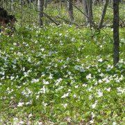 Field of Wild Trilliums in Northern Wisconsin