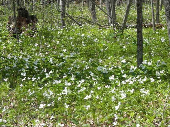 Field of Wild Trilliums in Northern Wisconsin