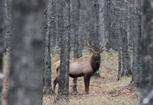 Seasonal Elk Behavior