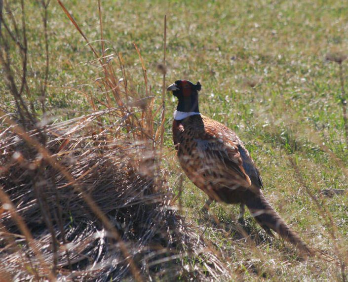 Successful Pheasant Hunting Northern Wisconsin