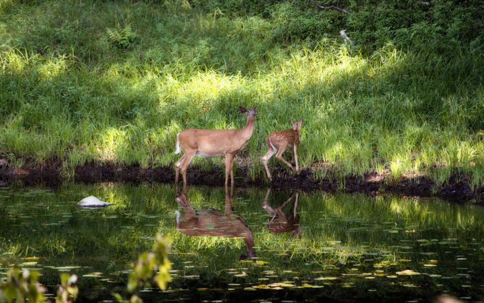 Wildlife Viewing Whitetail Deer Fawn